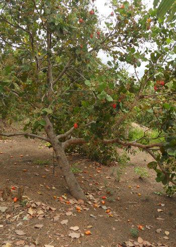 Điều chín cây, rụng xuống đất vì dân không dám vào thu hoạch. Ảnh: Minh Thảo