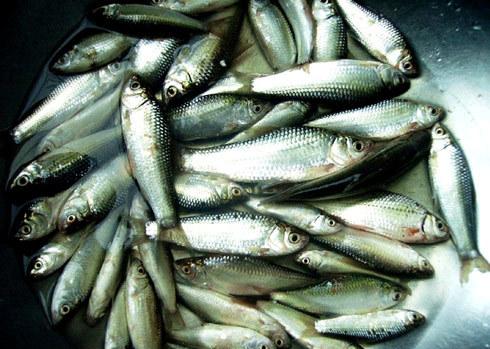 Cá linh là đặc sản của miền Nam.