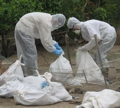 Tiêu hủy gia cầm bị cúm H1N1 ở đồng bằng sông Cửu Long. Ảnh: Thiên Phước