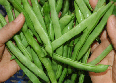 Đậu đỗ là loài rau được người trồng chăm sóc bằng nhiều hóa chất.