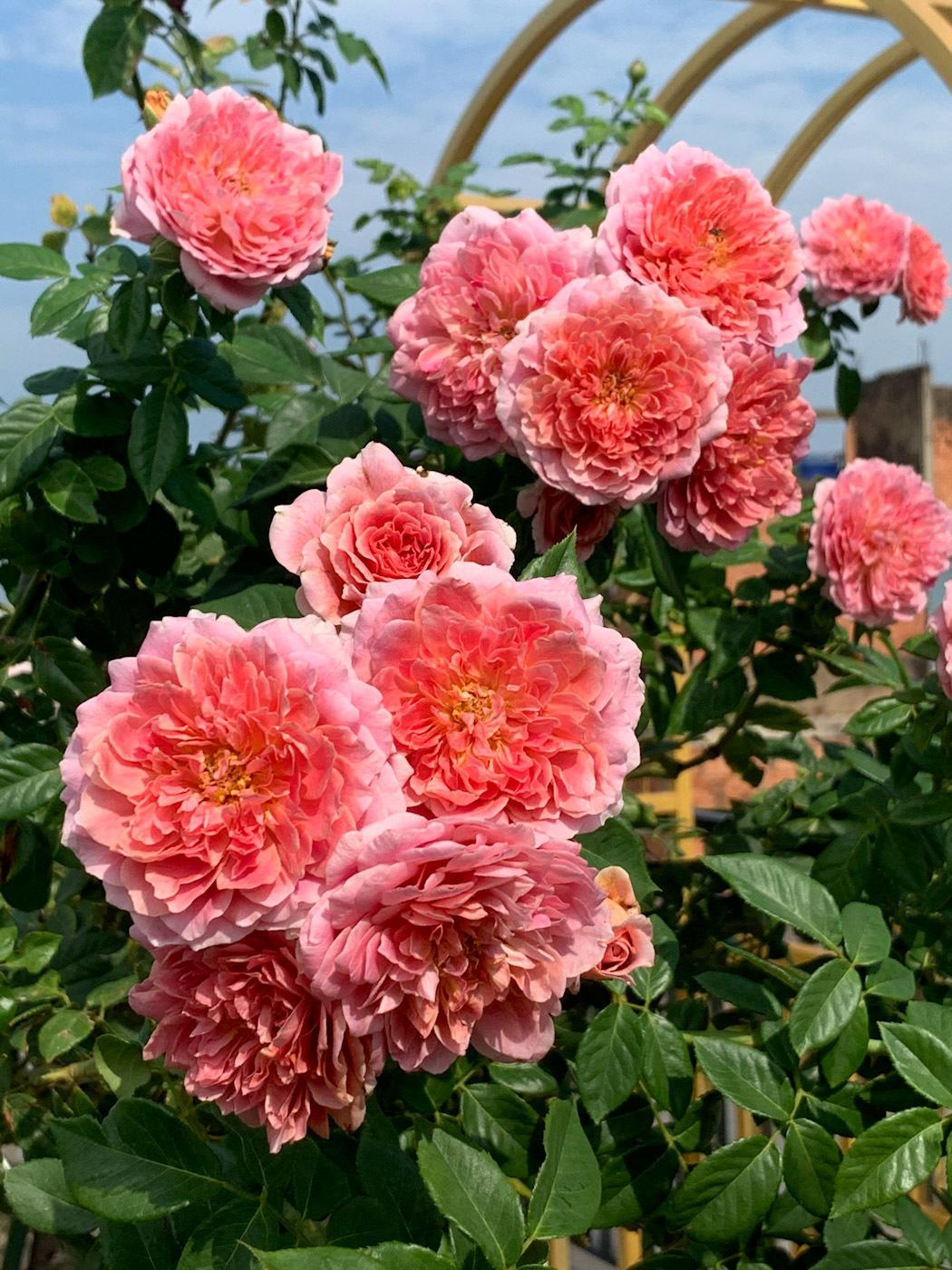 Vườn hoa hồng 70 loại của bà mẹ trẻ
