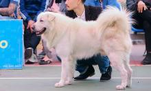 Chú chó về nhất cuộc thi chó bản địa Việt Nam 2020