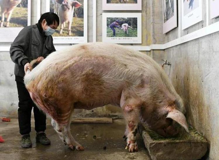 Người Trung Quốc tiếc thương chú lợn nổi tiếng